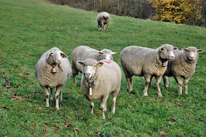 Inny or outy? Which way's your attention facing? Picture of sheep
