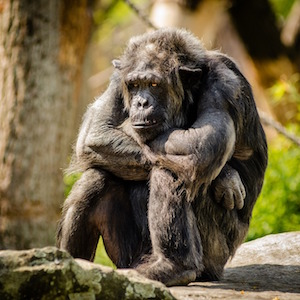 How to be happy - photo of chimpanzee, sitting