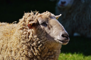 Lucky sheep dip - photo of sheep